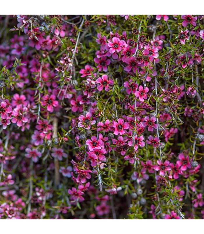Balmín metlatý - Leptospermum scoparium - semena - 10 ks