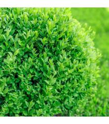 Buxus - Buxus sempervirens - semena - 10 ks