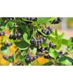 Černý jeřáb - Aronia melanocarpa - semena - 7 ks