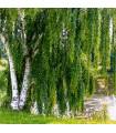 Bříza bělokorá - Betula pendula - semena - 15 ks