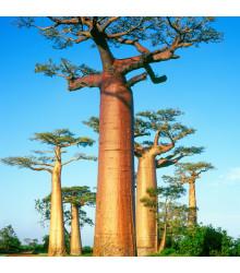 Baobab grandidieri - Adansonia grandidieri - semena - 2 ks