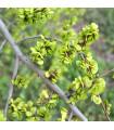 Turkestánský brest - Jilm sibiřský - Ulmus pumila - semena - 10 ks