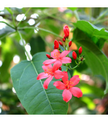 Jamajská třešeň - Muntingia calabura - semena - 6 ks