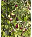 Olivovník evropský - Olea Europeae - semena - 5 ks