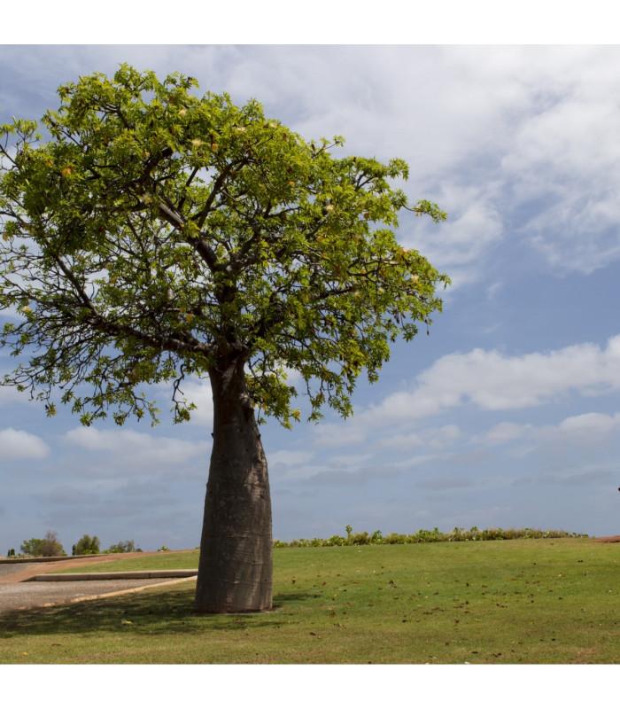 Australský baobab - Adansonia gregorii - semena - 2 ks