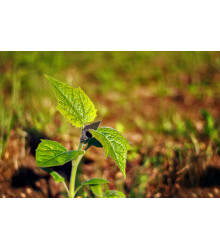 Paulovnie Biomass - semena - 15 ks