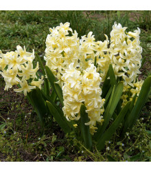 More about Hyacint City of Haarlem - Hyacinthus orientalis - cibuloviny - 1 ks
