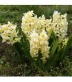 Hyacint - City of Harleem - podzimní cibuloviny - 1 ks