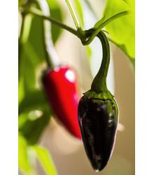 Chilli Černé maďarské – Capsicum annuum – semena chilli – 6 ks
