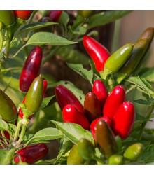 Chilli Jalapeno – Capsicum annuum – semena chilli – 6 ks
