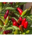 Chilli Jalapeno - semena - 6 ks