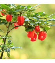 paprika čínská Scotch Bonnet - Capsicum chinense Scotch Bonnet