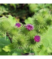 Lopuch větší - Arctium lappa - semena - 10 ks