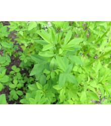 Pískavice modrá - Trigonella caerulea - semena - 1,5 gr
