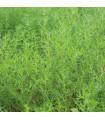 Slanobýl - Salsola komarovii - semena - 1 gr