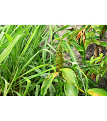Citronová tráva pravá - Cymbopogon winterianus - semena - 20 ks