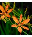 Angínovník čínský - Belamcanda chinensis - semena - 5 ks
