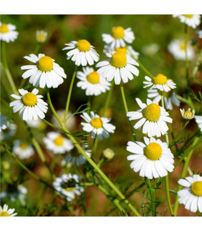 Heřmánek římský - Anthemis nobilis - semena - 0,1 gr