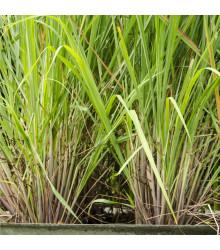 Citronová tráva - Cymbopogon citratus - semena citrónové trávy - 20 ks