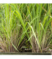 Citronová tráva - Cymbopogon citratus - semena - 20 ks