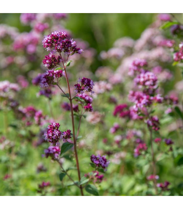 Dobromysl obecná - Origanum vulgare - semena - 1200 ks