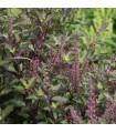 Bazalka posvátná červená - Ocimum tenuiflorum basil - semena - 30 ks