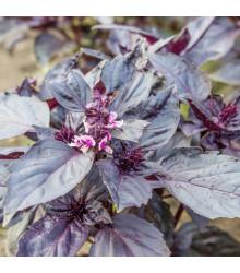 Bazalka červená Chianti - Ocimum basilicum - semena - 130 ks