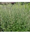 Pelyněk Černobýl - Artemisia vulgaris - semena - 50 ks