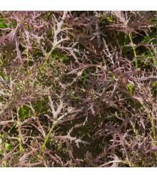 Mizuna Red Devil F1 - japonská hořčice - Brassica campestris Japonica - semena mizuny - 0,02 g