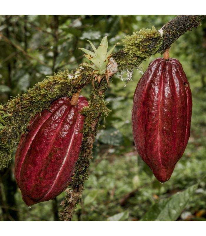 Kakaovník pravý červený - Theobroma cacao - semena - 5 ks
