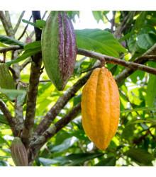 Kakaovník žlutý - Theobroma cacao - semena - 5 ks