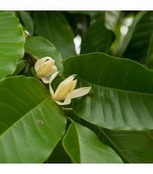 Magnólie champaca - Magnolia champaca - semena - 5 ks