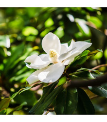 Magnólie velkokvětá - Magnolia grandiflora - semena - 5 ks