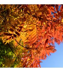 Pistácie čínská - Pistacia chinensis - semena - 5 ks