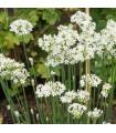 Pažitka česneková - Allium Tuberosum - semena - 1 gr
