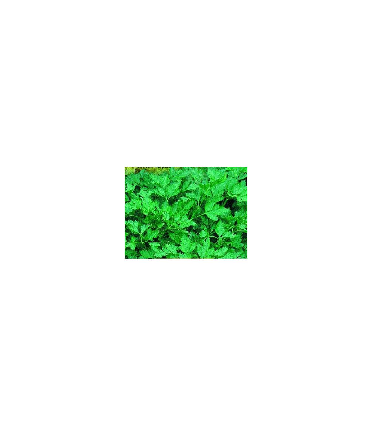Petržel naťová hladká BIO- semena BIO petržlenu- 10 g