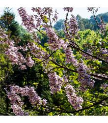 Čínský císařský strom Paulovnie Plstnatá - Paulownia tomentosa - semena - 15 ks