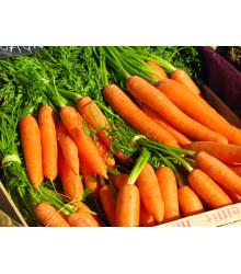 Mrkev F1 Laguna raná - Daucus carota - semena - 0,3 g