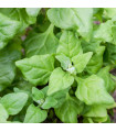 Špenát novozélandský - čtyřboč - Tetragonia tetragonioides - semena - 35 ks