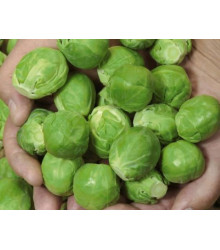Kapusta růžičková Hilds Ideal - Brassica oleracea - semena - 0,5 gr