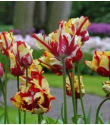 Tulipán Flamming Parrot - Tulipa Flamming Parrot - cibuloviny - 3 ks