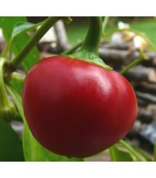 Chilli Pimento - Capsicum sinense - semena - 6 ks