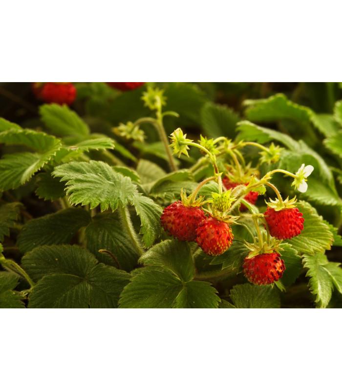 Jahodník lesní - Fragaria vesca - semena jahodníku - 10 ks