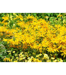 Letničky směs - Zahradní sen ve žluté - semena - 0,9 g