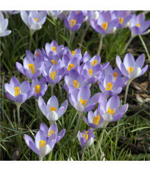 Krokus Barrs Purple - Crocus tommasinianus - cibuloviny - 3 ks