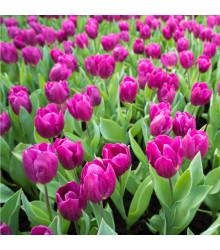 More about Tulipán Purple Flag - Tulipa - cibuloviny - 3 ks