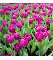 Tulipán Purple Flag - Tulipa - cibuloviny - 3 ks