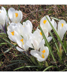 More about Krokus Jeanne d Arc - Crocus vernus - cibuloviny - 3 ks