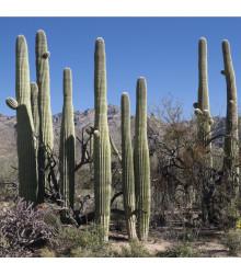 Saguaro - kaktus svícnovitý - Carnegiea gigantea - semena - 5 ks