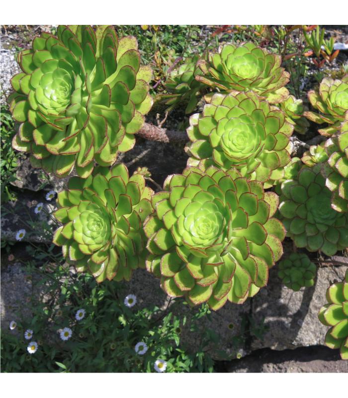 Aeonium ciliatum - Růžicovka - prodej semínek - 10 ks